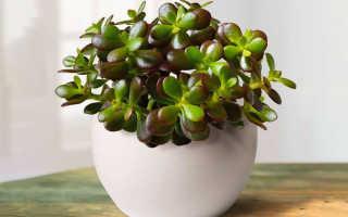 Крассула – уход в домашних условиях, советы профессиональных цветоводов