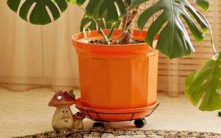 Монстера уход в домашних условиях: особенности полива, пересадки и размножения