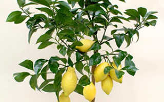 Как вырастить лимон из косточки в домашних условиях: от семени до плодоносящего деревца