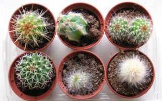 Уход за кактусом в домашних условиях: от посадки до цветения