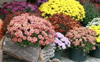 Когда пересаживать хризантемы из горшка в горшок – весной или осенью: секреты выращивания