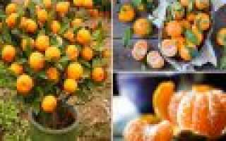 Как прорастить косточку апельсина, лимона, мандарина в домашних условиях.