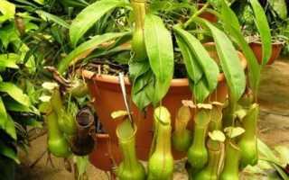 Непентес: уход в домашних условиях, виды и особенности растения