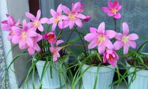 Зефирантес в домашних условиях – посадка, размножение и уход