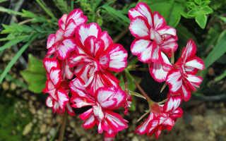 Пеларгония королевская – уход в домашних условиях, пересадка, размножение