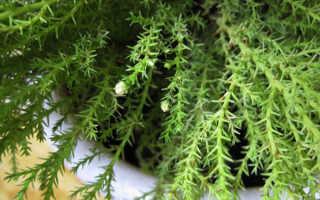 Купрессус: уход в домашних условиях, выращивание, вредители, полезные советы