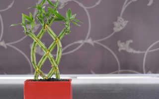 Уход за бамбуком в домашних условиях в воде: создание оптимальной среды и размножение растения