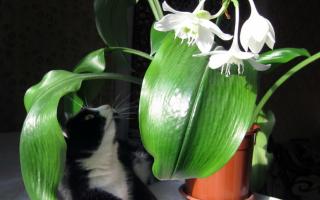 Эухарис: уход в домашних условиях, проблемы выращивания, лечение, советы цветоводов